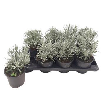 LAVANDULA angustifolia D14 x8 Lavande VRAIE