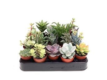 MINI PLANTE SUCCULENTE D05.5 x20 20Cm MIX