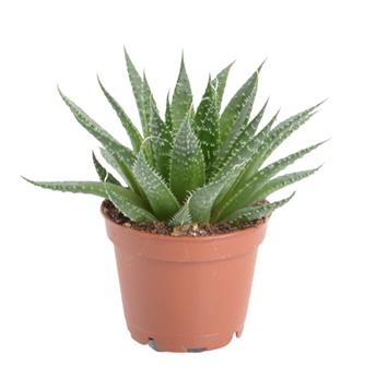 MINI ALOE hybride D06 X12 MIX