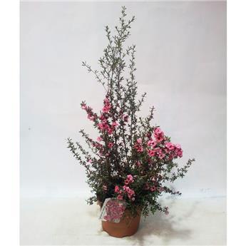 LEPTOSPERMUM scoparium D19 TOUFFE 35-40CM Rose de Chine