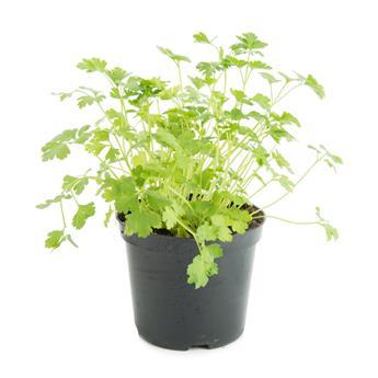 PETROSELINUM sativum D14 x8 Persil lisse POUR PLANT