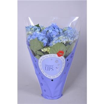 HYDRANGEA macrophylla D15 P x6 Early Bleu 5-6