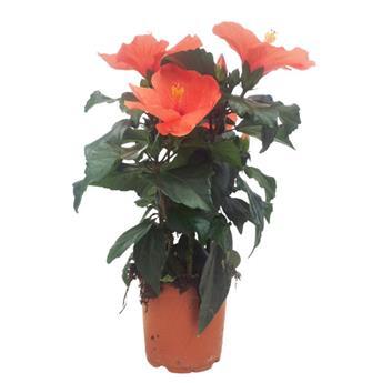HIBISCUS rosa sinensis D13 x6 3-5 BRANCHES